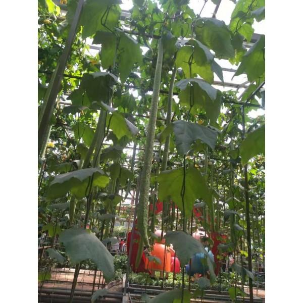 优质丝瓜种子 优质观赏丝瓜种子 特长丝瓜种子